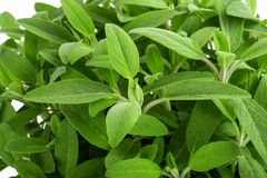 Sage plants background Royalty Free Stock Images
