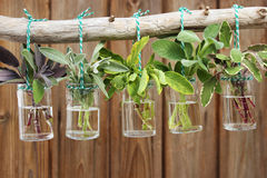 Sage plants in jars Stock Photos