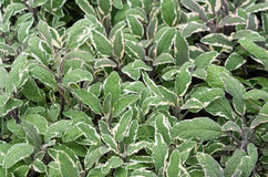 Sage plants with purple stems Stock Images