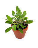 Sage in pot Royalty Free Stock Images