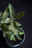 Sage in pot Stock Photography