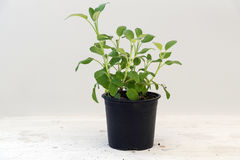 Sage, potted plant against a light gray background with copy spa. Ce, kitchen herbs for fresh and healthy cooking royalty free stock photography