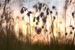 Sage. prairie grass on sunset sky background Royalty Free Stock Photography