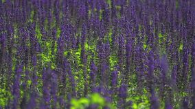 Sage purple flowers stock footage