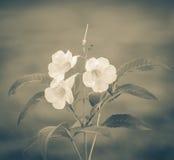 Sage Rose-bloem het bloeien Royalty-vrije Stock Afbeeldingen