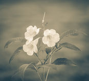 Sage Rose flower blooming. With retro color tone Royalty Free Stock Images
