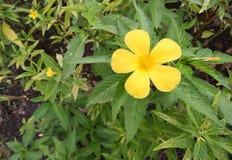 Sage rose,Turnera subulata, Yellow Alder. Scientific classification is Kingdom: Plantae, Angiosperms, Eudicots, Rosids Stock Image