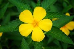Sage rose, yellow flower. Green background Royalty Free Stock Photos