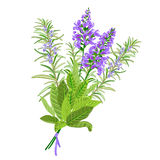 Sage and rosemary flowers. Bunch of flowering sage and rosemary. Vector illustration Stock Image