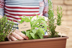 Sage and rosemary plants on urban garden Royalty Free Stock Images