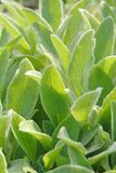 Sage's leaves close up. Close up photo of hairy medical sage's leaves stock images