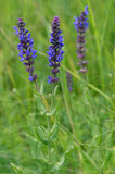 Sage (Salvia). Nature in summer. Sage. Grass plant stock image