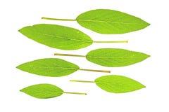 Sage (Salvia officinalis) Royalty Free Stock Photos