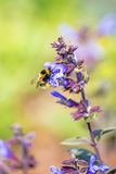 Sage, Salvia officinalis with bumblebee Royalty Free Stock Photography