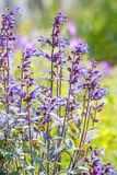 Sage, Salvia officinalis with bumblebee Stock Photography
