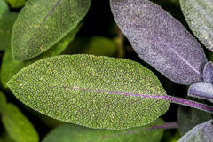 Sage, Salvia officinalis Stock Photography