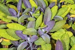 Sage, Salvia officinalis Stock Photography