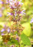 Sage, Salvia officinalis Royalty Free Stock Photography