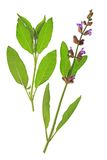 Sage (Salvia officinalis) Stock Image