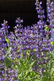 The sage Salvia officinalis grows in natural habitat stock photos
