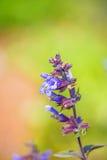 Sage, Salvia officinalis Royalty Free Stock Photography