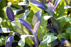 Sage, Salvia officinalis Royalty Free Stock Image
