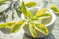 Sage, Salvia officinalis Royalty Free Stock Photo