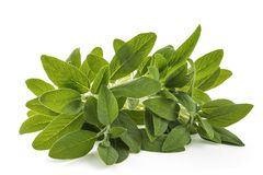 Sage salvia officinalis. Plants isolated on white royalty free stock image