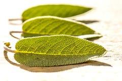 Sage, Salvia officinalis Royalty Free Stock Image