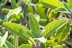 Sage, Salvia officinalis Royalty Free Stock Photos