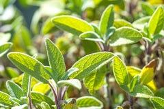 Sage, Salvia officinalis Stock Photos