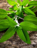 Sage (Salvia) Salbei Royalty Free Stock Photography