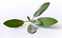 Sage (salvia) sprig Royalty Free Stock Images