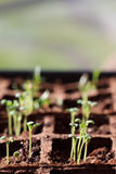 Sage Seedling. A baby sage plant is sprouting Royalty Free Stock Images