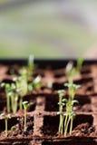 Sage Seedling Royalty Free Stock Images