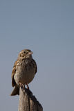 Sage Sparrow, Amphispiza belli. Juvenile Sage Sparrow in Alamosa National Wildlife Refuge in Colorado Stock Photo