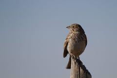 Sage Sparrow, Amphispiza belli Stock Image