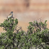 Sage Sparrow on sage brush Stock Photo