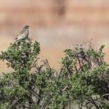 Sage Sparrow sulla spazzola prudente Fotografia Stock