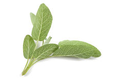 Sage Stock Photography