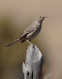 Sage Thrasher Royalty Free Stock Photos