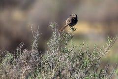 Sage Thrasher all'alba su un cespuglio stentato dentro la riserva nazionale di Alamosa in Colorado del sud fotografie stock libere da diritti
