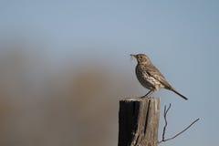 Sage Thrasher, montanus d'Oreoscoptes Images libres de droits