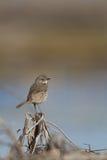 Sage Thrasher, montanus di Oreoscoptes fotografie stock libere da diritti