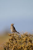Sage Thrasher, Oreoscoptes montanus Stock Photo