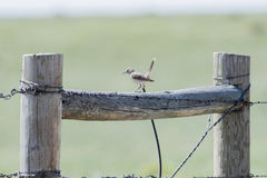 Sage Thrasher Oreoscoptes montanus on a Barbed Wire Fence Stock Image