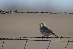 Sage Thrasher, Oreoscoptes montanus Stock Photos
