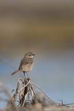 Sage Thrasher, Oreoscoptes montanus Royalty Free Stock Photos