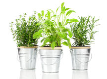 Sage, thyme and rosemary herb plant. Growing in a distressed pewter pot, over white background. Salvia royalty free stock photography