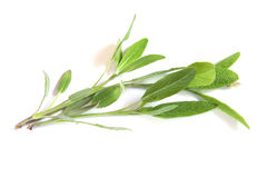 Sage twigs Stock Images